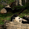 Tian and Mei at rest, National Zoo, Washington, DC, October 13,2008.