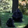 Zoo Atlanta, Western Lowland Gorillas