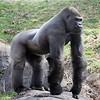 Zoo Atlanta, Western Lowland Gorilla