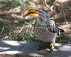 Yellow-billed Hornbill, Mr. Personality!
