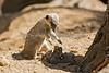 Juvenile Meerkat playing.
