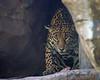 Sophia, a Jaguar, finds a bone hidden in her exhibit.