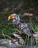 Yellow-billed Hornbill.  This was the friendliest little bird!