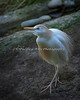 Cattle Egret, who rules the aviary.