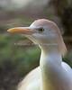 Whoooo are youuuu? (Cattle Egret)
