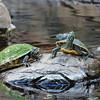 Turtles sunning themselves at Hawaii Hilton