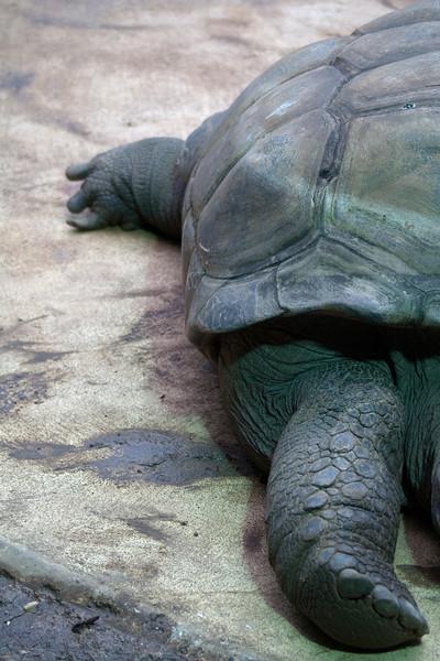 Seychelles giant tortoise (Dipsochelys hololissa)
