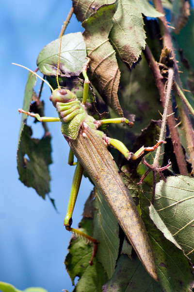 Giant grasshopper (Tropidacris collaris)