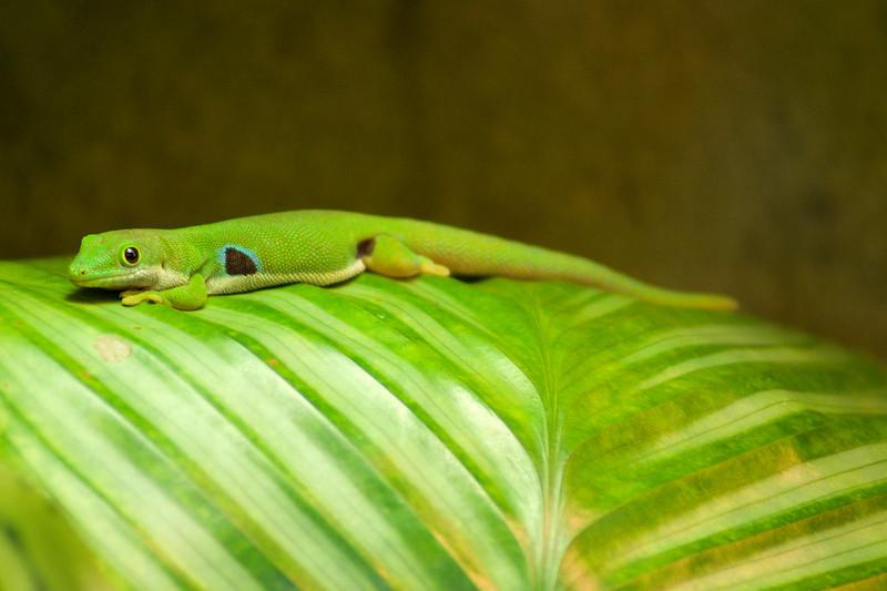 Four Spot Day Gecko (Phelsuma quadriocellata)