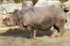 Rhinoceros unicornis male