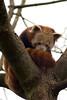 Lesser Panda (Ailurus fulgens )