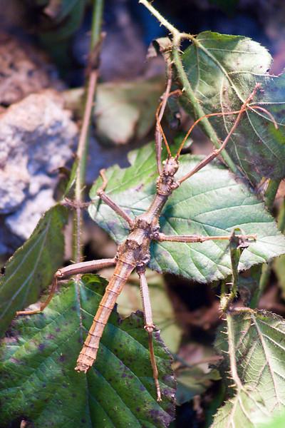 Giant Thorny Stick (Trachyaretaon bruekneri)