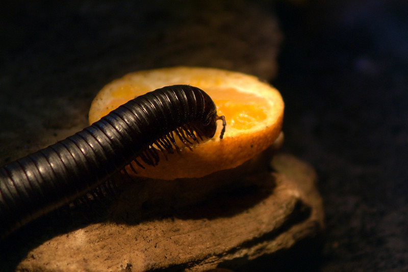 giant African millipede (Archispirostreptus gigas)