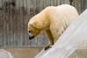 Polar Bear (Ursus maritimus) juvenile