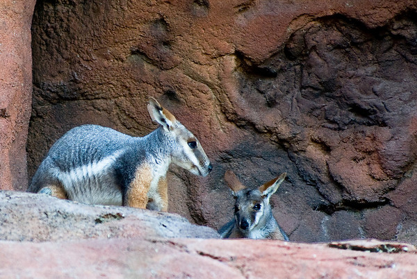 Rock Wallaby - from the desert dome