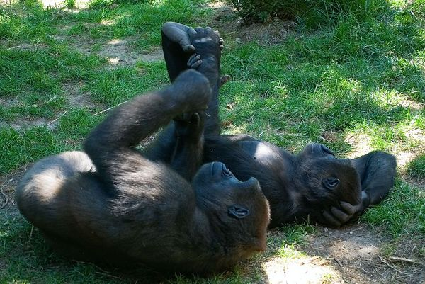 """<font size=""""3"""">A couple of apes relaxing in the shade.</font>"""