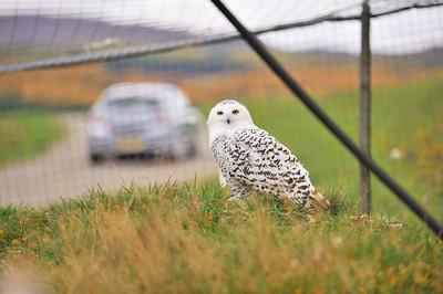 Scotland Trip, Oct. 2009 Highland Wildlife Park, Snowy Owl