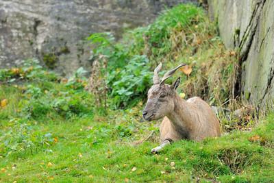 Scotland Trip, Oct. 2009 Highland Wildlife Park, Markhor
