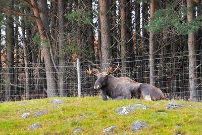 Scotland Trip, Oct. 2009 Highland Wildlife Park, Moose