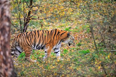 Scotland Trip, Oct. 2009 Highland Wildlife Park, Amur Tiger
