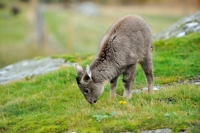 Scotland Trip, Oct. 2009 Highland Wildlife Park, Goral