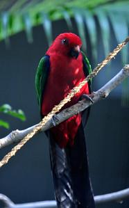 Amboina King Parrot