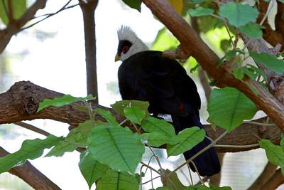 Whited-Crested Turaco Honolulu Zoo
