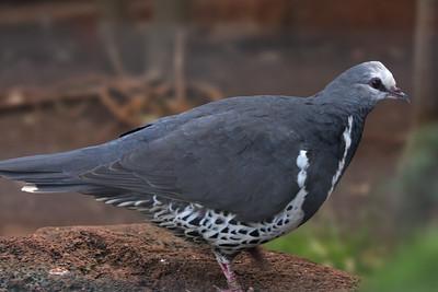 Wonga Pigeon