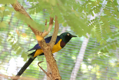 Golden-Breasted Starling Honolulu Zoo
