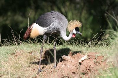 Crowned Crane Honolulu Zoo