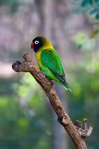 Masked Love Bird