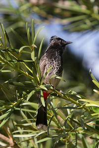 Red-vented Bulbul - This Bulbul was at the zoo, but not in one of the cages, it was just flying around, Introduced to Hawaii in mid 1960's native to India