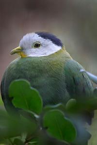 Black-napped Fruit Pigeon