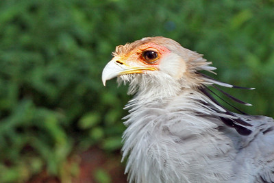 Secretary Bird also know as the Afircan Eagle Honolulu Zoo