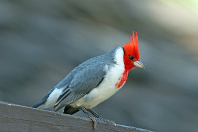 Red-Crested Cardinal Honolulu Zoo