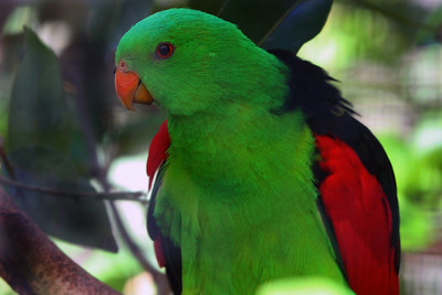 Red-winged Parrot Honolulu Zoo
