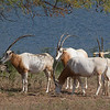 The new Sky Safari provided a great view of the savanna animals.  Here is a group of Scimitar-horned Oryx.