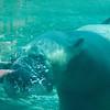 Polar Bear blowing a bubble underwater.