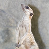 Meercat posing