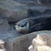 Begin 7/26/09 KC Zoo Visit.  River Otter.