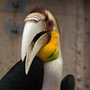 The Hornbills are some of my favorites to photograph.