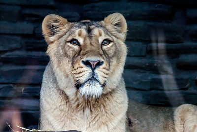 Asian Lion - Aasianleijona - Panthera leo persica