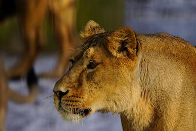 Asiatic lion - Aasianleijona - Panthera leo persica