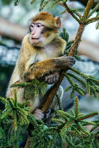 Berberiapina - Barbary Macaque - Macaca sylvanus