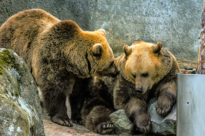 Brown Bear - Ruskeakarhu - Ursus arctos