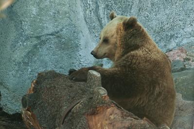 Brown Bear - Ruskeakarhu - Ursus arctos  Service, please! - Palvelua, kiitos!