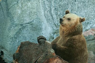 Brown Bear - Ruskeakarhu - Ursus arctos  Boring! - Tylsää!