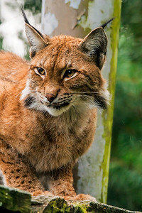 Lynx - Ilves - Lynx lynx