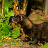 European mink - Vesikko - Mustela lutreola