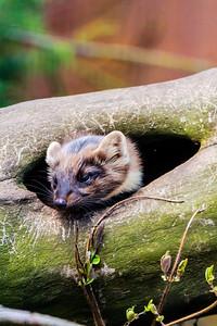 European pine marten - Näätä - Martes martes
